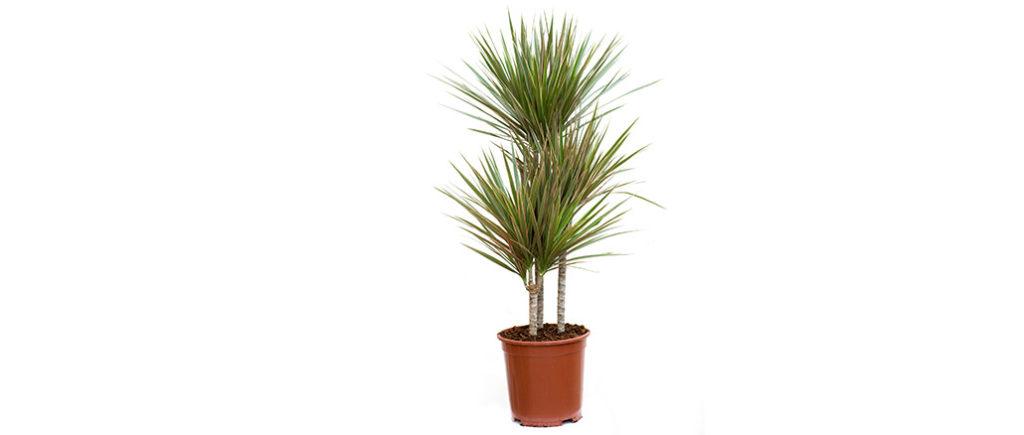 Drachenbaum pflegeleichte Zimmerpflanze | © spinetta - stock.adobe.com