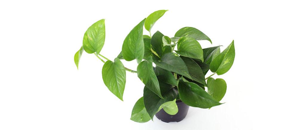 Efeutute pflegeleichte Zimmerpflanze | © sonne07 - stock.adobe.com