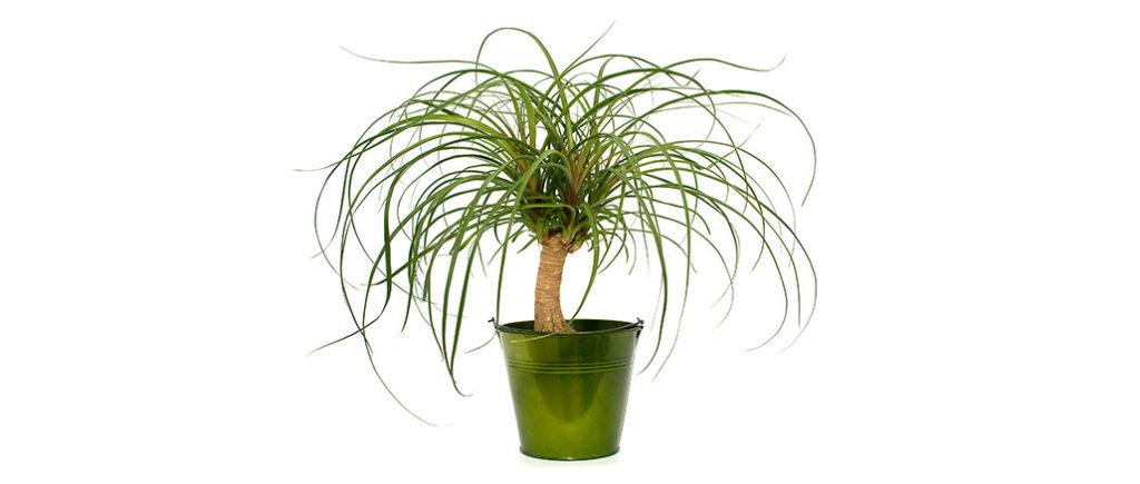 Elefantenfuß pflegeleichte Zimmerpflanze | © sasel77 - stock.adobe.com