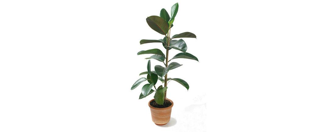 Gummibaum pflegeleichte Zimmerpflanze | © 7monarda- stock.adobe.com
