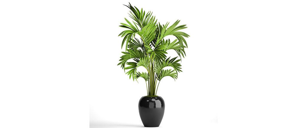 Kentiapalme pflegeleichte Zimmerpflanze | © Yurii - stock.adobe.com