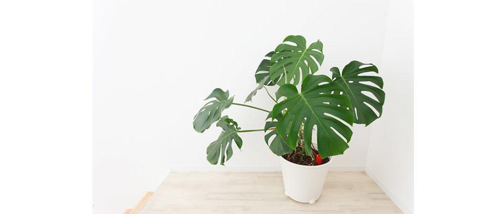 Monstera pflegeleichte Zimmerpflanze | © mykeyruna - stock.adobe.com
