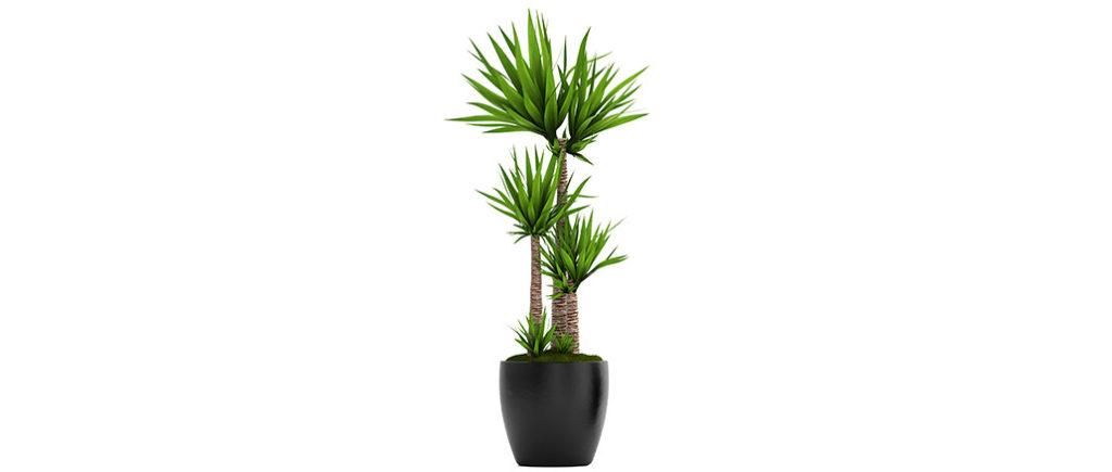 Yucca Palme pflegeleichte Zimmerpflanze | © Yurii - stock.adobe.com