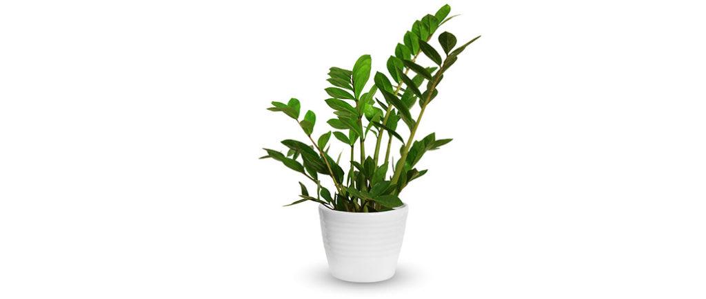 Zamie/Glücksfeder pflegeleichte Zimmerpflanze | © kav777 - stock.adobe.com